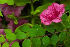Pink Lavatera flower Stock Photo
