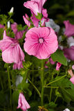 Pink Lavatera flower in green Royalty Free Stock Photos