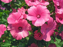 Pink lavatera flowers Stock Photos