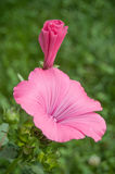 Pink Lavatera flowers in a garden Stock Images