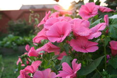 Pink lavatera flowers On the Sunset. Pink lavatera flowers or rose mallow in the home garden after the rain Stock Photography