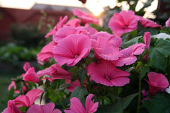 Pink lavatera flowers On the Sunset. Pink lavatera flowers or rose mallow in the home garden after the rain Royalty Free Stock Image