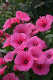 Pink lavatera flowers On the Sunset Royalty Free Stock Photos