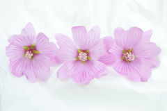 Pink Lavatera's Stock Photography