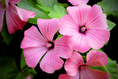 Pink Lavatera trimestris (annual mallow) flowers. Close up Stock Photography