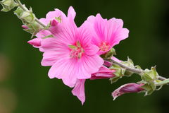 Pink lavateria olbia Stock Photography