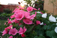 Pink Lavetara flowers On the Sunset. Pink Lavetara flowers or rose mallow in the home garden On the Sunset Stock Photos