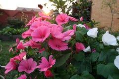 Pink Lavetara flowers On the Sunset Stock Photos
