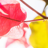 Pink leaf in contrejour lighting Stock Image