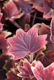 Pink leafy plant. Cluster of pinkish-red color leafy plant, focus on the center plant sprout with shallow depth of field Stock Photos