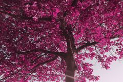 Pink leave tree in the summer stock photography