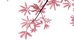 Pink leave on white background Stock Photos
