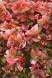 Pink leaves Royalty Free Stock Photography