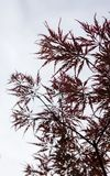 Pink leaves on the branches of the Japanese maple Royalty Free Stock Images