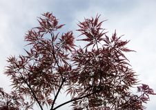 Pink leaves on the branches of the Japanese maple Stock Images