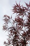 Pink leaves on the branches of the Japanese maple Stock Photo