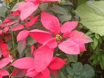 Pink leaves of Christmas Star plant royalty free stock images