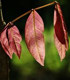 Pink leaves with dark green background Royalty Free Stock Photo
