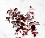 Pink leaves of the dog-rose covered with hoarfrost Stock Images