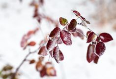 Pink leaves of the dog-rose covered with hoarfrost.  Royalty Free Stock Images