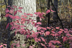 Pink Leaves in the Fall Forest Stock Photography