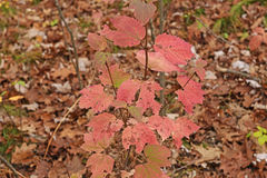 Pink Leaves on the Forest Floor. In Black River State Forest in Wisconsin stock image