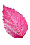 Pink leaves of the Hibiscus Royalty Free Stock Photos