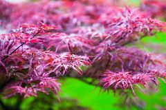 Pink leaves of the Japanese maple (Acer palmatum) Royalty Free Stock Image
