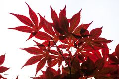 Pink leaves of the Japanese maple (Acer palmatum) Royalty Free Stock Photo