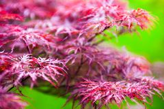 Pink leaves of the Japanese maple (Acer palmatum) Royalty Free Stock Images