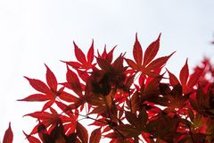 Pink leaves of the Japanese maple (Acer palmatum) Stock Images