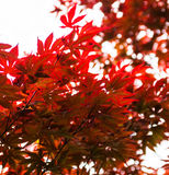 Pink leaves of the Japanese maple Acer palmatum Stock Photo