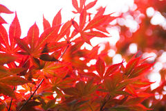 Pink leaves of the Japanese maple Acer palmatum Stock Images