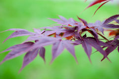 Pink leaves of the Japanese maple Acer palmatum Royalty Free Stock Photos