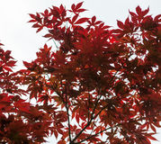 Pink leaves of the Japanese maple Acer palmatum Royalty Free Stock Photo