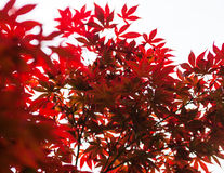 Pink leaves of the Japanese maple (Acer palmatum) Royalty Free Stock Photos