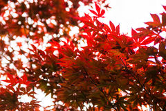 Pink leaves of the Japanese maple (Acer palmatum) Stock Photos