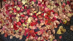 Pink leaves on pavement. Stock Photo