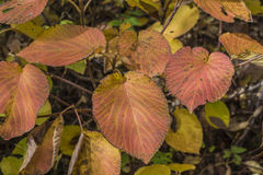 Pink Leaves With Yellow Veins Stock Images