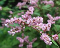 Pink Lesser Knotweed Flowers Stock Photo