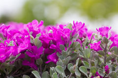 Pink Leucophyllum frutescens or Barometer Bush flowers. In the garden Stock Photos