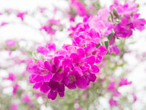 Pink  Leucophyllum frutescens flowers Royalty Free Stock Image