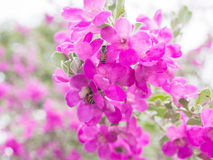 Pink  Leucophyllum frutescens flowers and bees Royalty Free Stock Photos