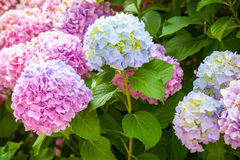Pink and light blue hydrangea flowers Stock Photo