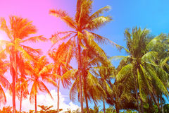 Pink light on coco palm trees. Tropical landscape with palms. Palm tree crown on blue sky. Stock Photography