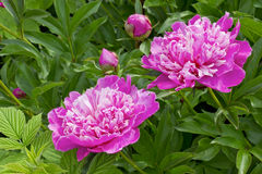 Pink light  from the summer    peonies Stock Images