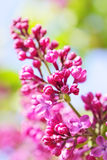 Pink Lilac Stock Images
