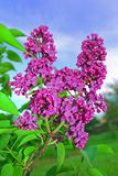 Pink lilac Royalty Free Stock Photos