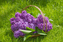 Pink lilac in a basket Royalty Free Stock Image