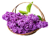 Pink lilac in a basket Royalty Free Stock Photos
